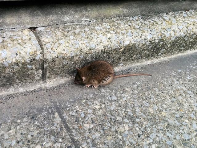 ゴミ捨て場にはネズミも集まる