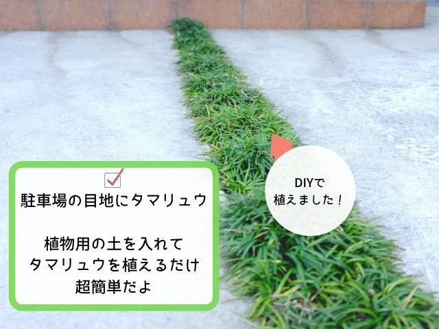 タマリュウは簡単に植えられる植物の1つ